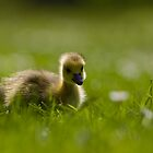 Backlit Gosling by Michael Sarton