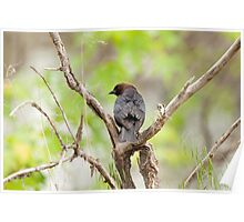 Brown-headed Cowbird, male Poster