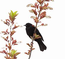 Red-winged Blackbird by c painter
