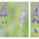 Lavender by Lifeware