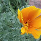 Wild Poppy by Margot Ardourel