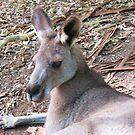 Kangaroo by Michael John