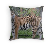 Amur Tiger (Panthera tigris altaica) Throw Pillow