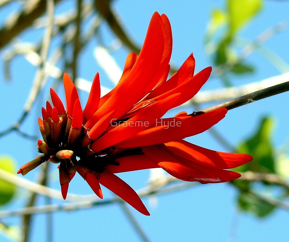 Coral Tree Flower at Namutoni by Graeme  Hyde