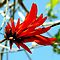 RED FLOWERS in Africa | ROOI BLOMME in Afrika