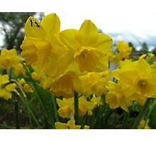 Vacationing on a daffodil Photographic Print