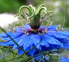 Nigella of Blue by Kate Eller