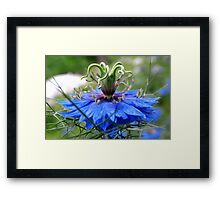Nigella of Blue Framed Print