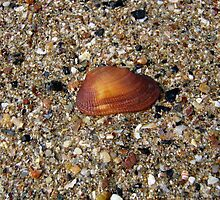 A Shell on the Beach by Vanessa Barklay