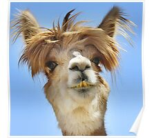 Alpaca with Crazy Hair Poster