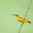 Bird on a wire - sunbird  by Jenny Dean