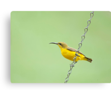 Bird on a wire - sunbird  Canvas Print