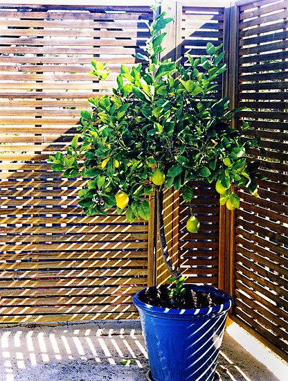 lemon tree - 1st Toyo-G attempt by nadine henley