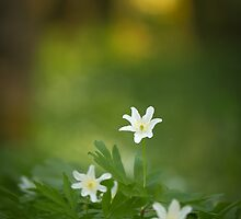 Dawn of the Wood Anemone by Sarah-fiona Helme