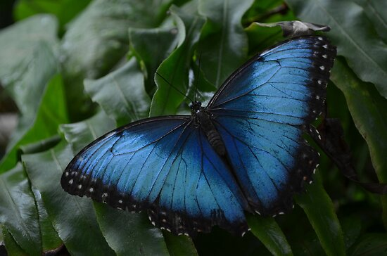 Blue Morpho Butterfly on Fernleaf by Paula Betz