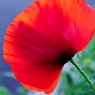 Poppy in Red Blue and Green by 7horses