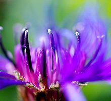 Cornflower Blur by Rebecca Eldridge