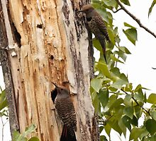 "Northern ""Red-Shafted"" Flicker (pair) by c painter"