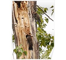 """Northern """"Red-Shafted"""" Flicker (pair) Poster"""