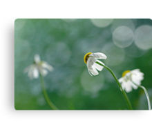 Chamomile behind Canvas Print