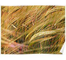 Norfolk wheat  field Poster