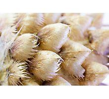 Globe Cornflower Seed Heads - Macro Photographic Print