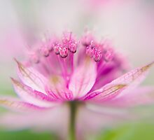 A splash of Astrantia by Jacky Parker
