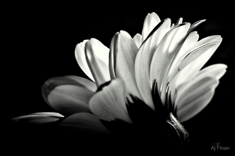 Gerbera In Black And White. by Aj Finan