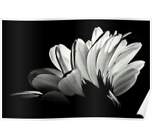 Gerbera In Black And White. Poster