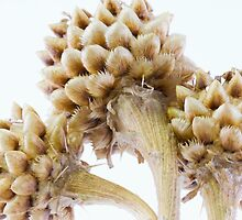 Three Globe Cornflower Seed Heads - Macro by Sandra Foster