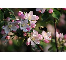 Bumble & Blossoms Photographic Print
