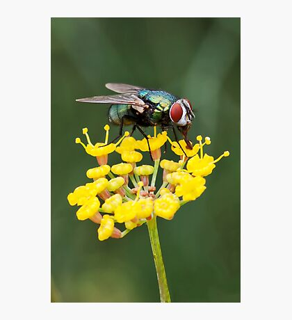 Fly on Fennel Photographic Print