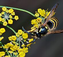 Wasp on Fennel by Roy Griffiths