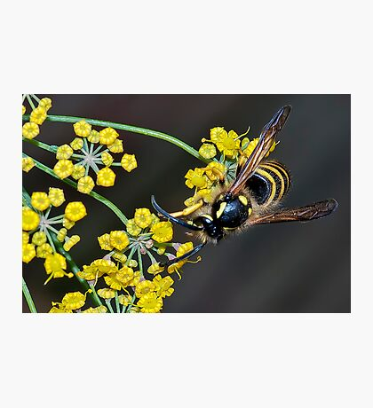 Wasp on Fennel Photographic Print