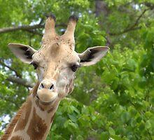 Giraffe  by donnau
