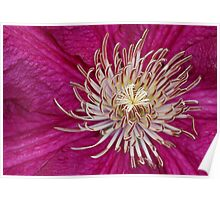 A beautiful Clematis from the Ranunculaceae (buttercup) family Poster