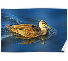 Duck on Blue Water Poster