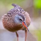 Virginia Rail by Michael Cummings