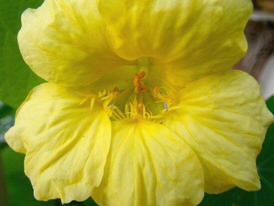 Yellow Nasturtium by Betty Mackey