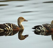 Plumed Whistling Duck by triciaoshea