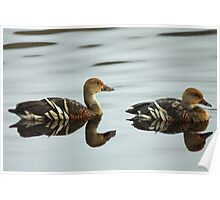 Plumed Whistling Duck Poster