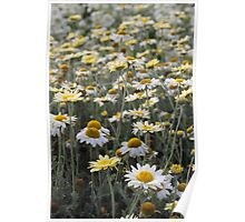 Lots of Daisies Poster