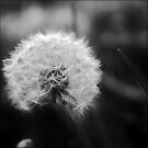 Dandelion clock by Astrid Ewing Photography