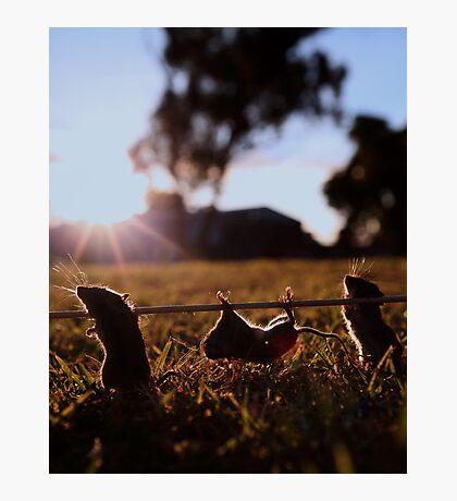 Cannibal mice! Photographic Print