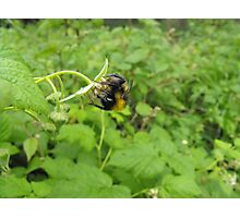 Acrobatic Bumble-Bee. Photographic Print