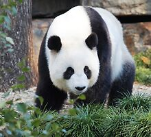 Looking for panda cake by Leoni South