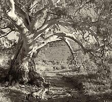 River gum, Flinders Ranges, South Australia by PeterDamo