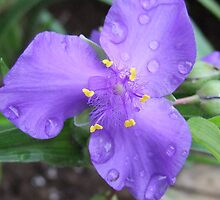 Spiderwort by Tracy Faught