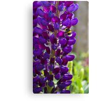 Purple Lupin Canvas Print