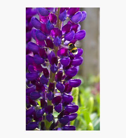 Purple Lupin Photographic Print